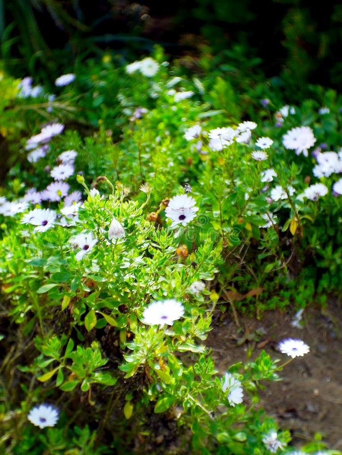 White daisies in the garden. White daisies in the park garden royalty free stock images