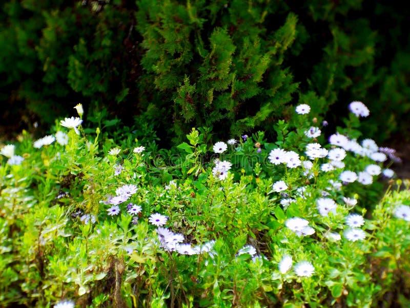 White daisies in the garden. White daisies in the park garden stock photo