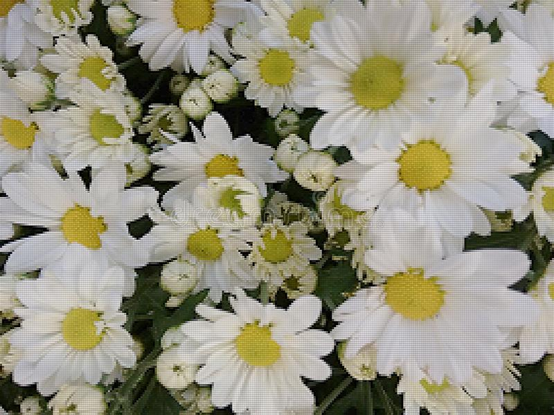 White daisies. A popular plant of the daisy family, having brightly colored ornamental flowers and existing in many cultivated varieties stock photo