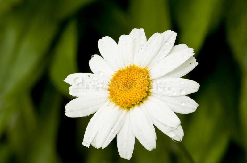 White Daisy. A closeup of white daisy blossom with a water droplet stock images