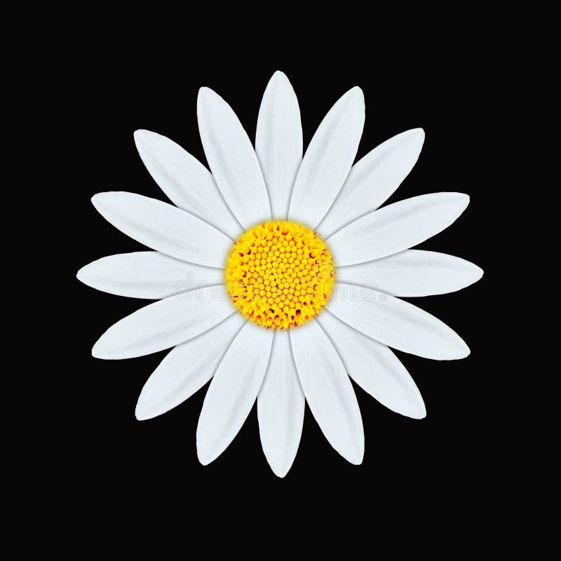 Download White daisy stock illustration. Image of flower, botany - 15341804