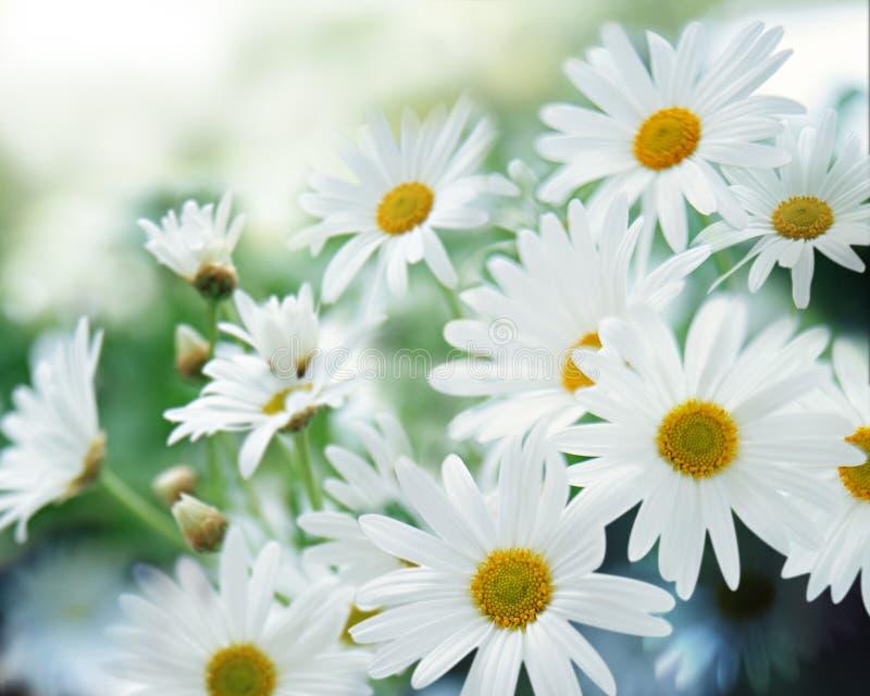 Download White daisy stock photo. Image of blossom, freshness - 15629060
