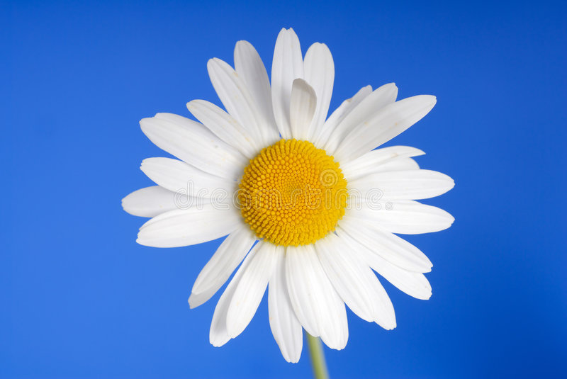 Download White daisy stock photo. Image of beauty, circle, blooming - 2718024