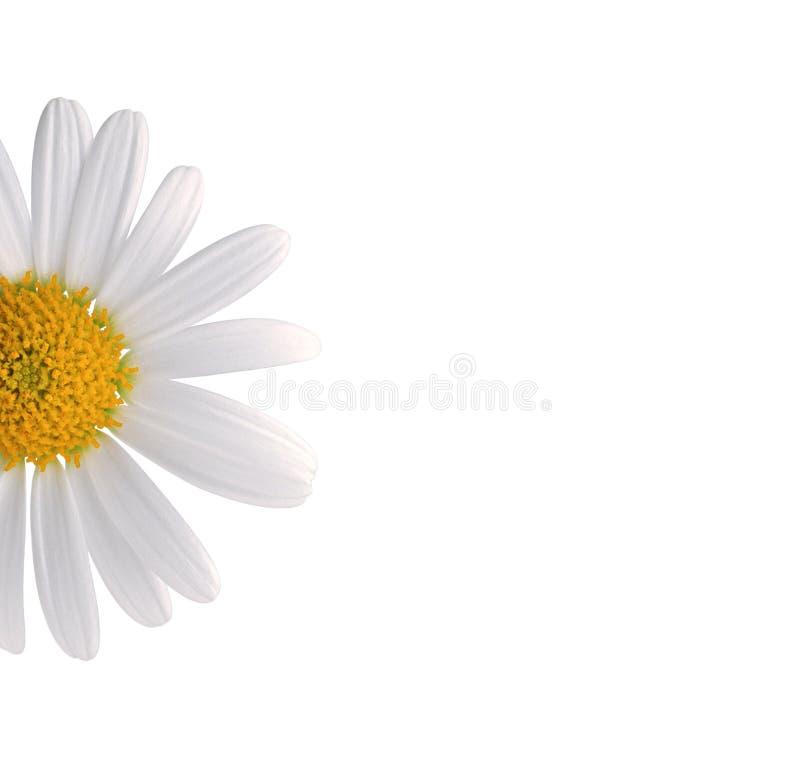 White daisy royalty free stock image