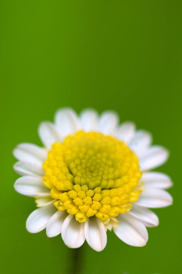Download White daisy stock image. Image of flower, background, green - 959025