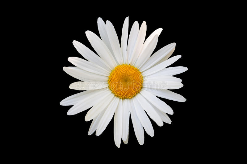 White Daisy Against Black Background Stock Image - Image ...