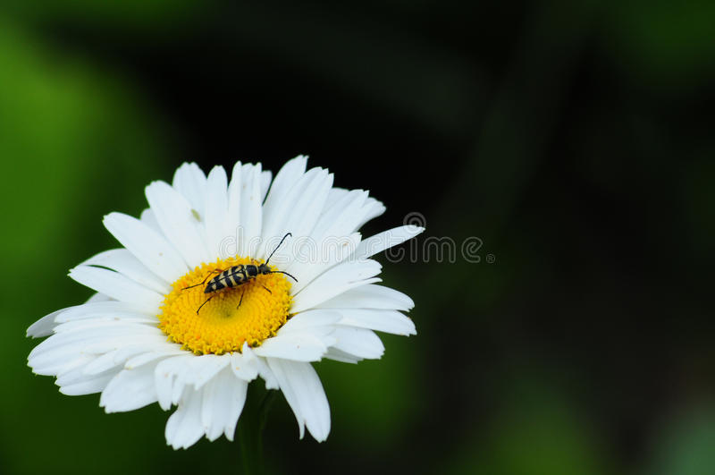 White Daisy With Beetle stock photography