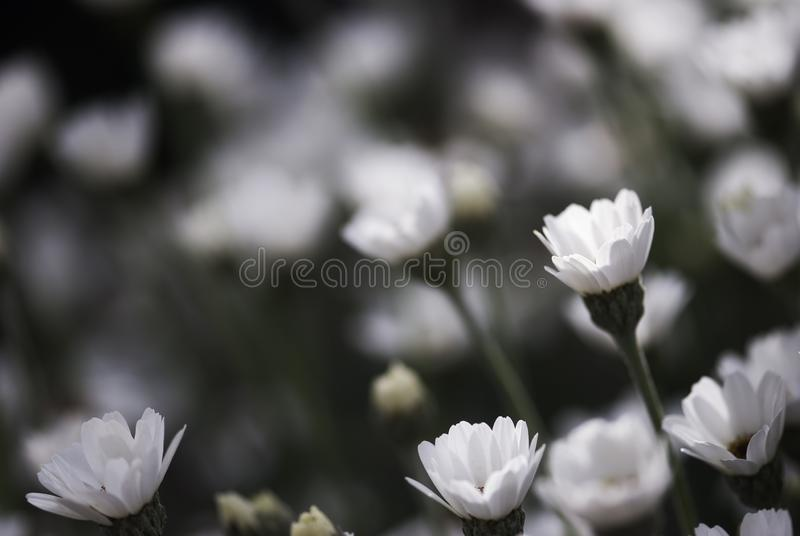 White Daisy Buds in Summer stock images