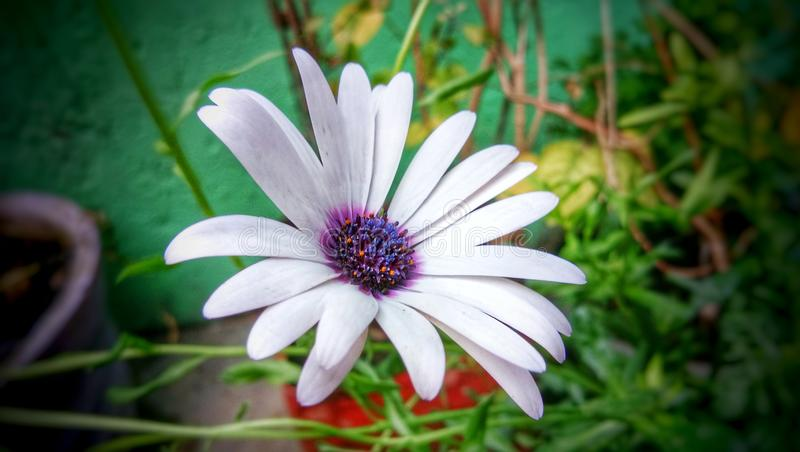 White Daisy bush flower plant for decoration royalty free stock photos