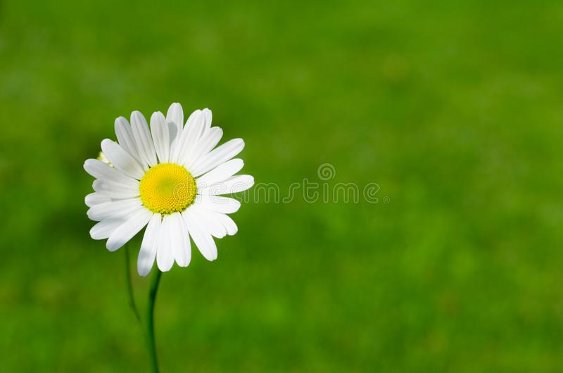 White Daisy Closeup Photography stock images