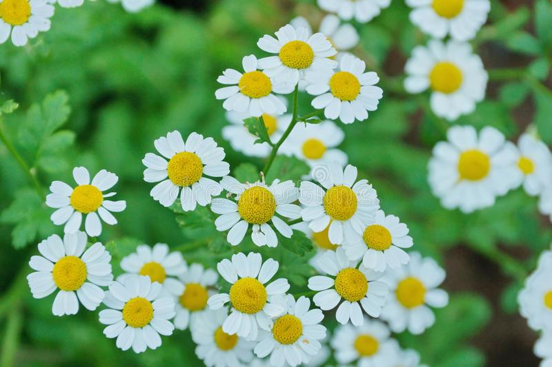 White Daisy decorative in the garden close-up. Of fresh blooming stock photography
