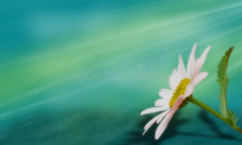 White daisy on a dreamful turquoise background, with rays of light. royalty free stock photos