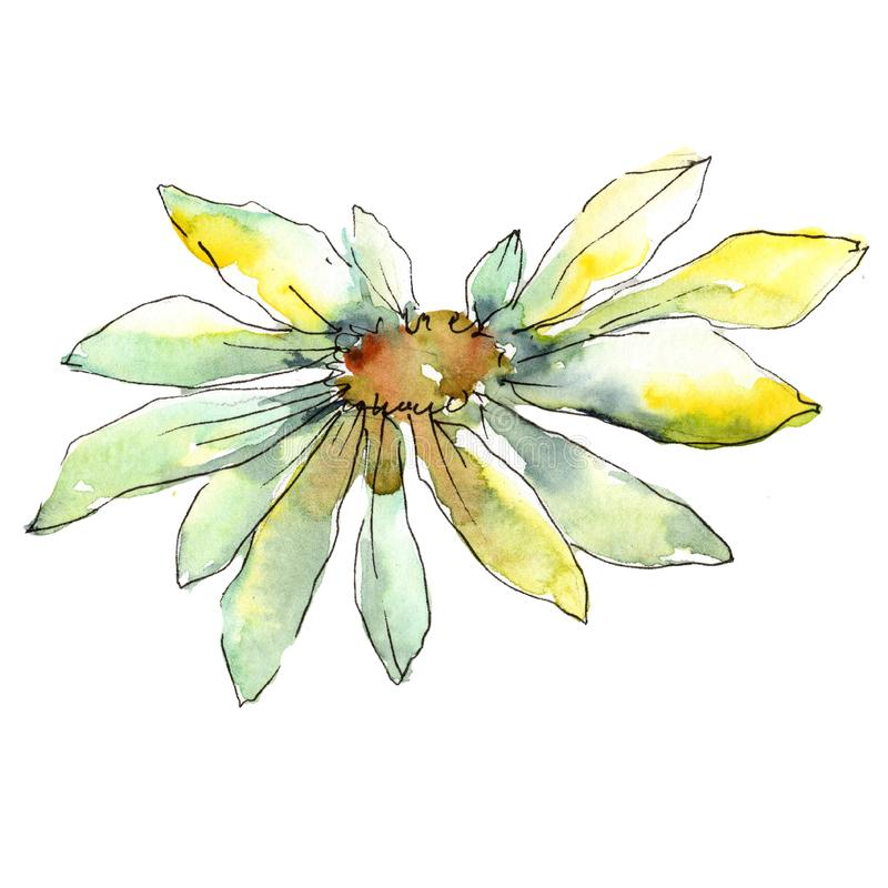 White daisy. Floral botanical flower. Wild spring leaf wildflower isolated. Aquarelle wildflower for background, texture, wrapper pattern, frame or border royalty free illustration
