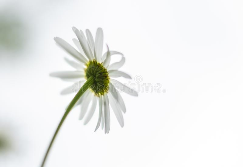 White daisy flower on the back side against the white background.  royalty free stock photos