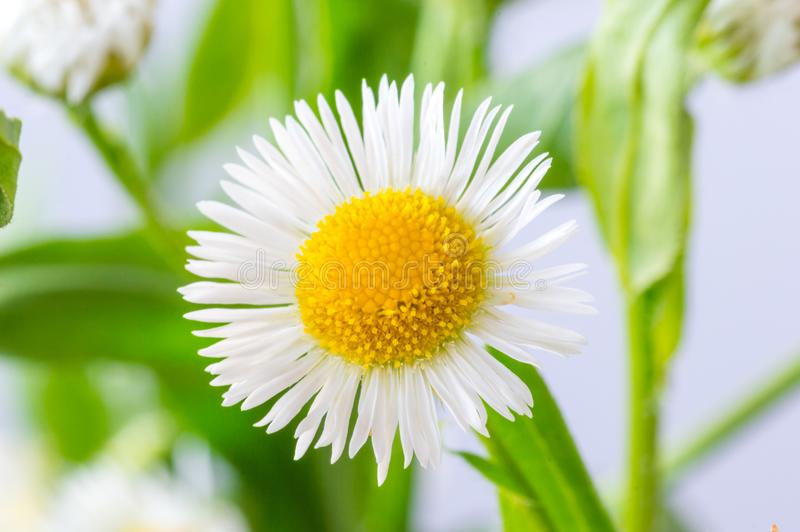A white daisy flower Bellis perennis.  royalty free stock photos
