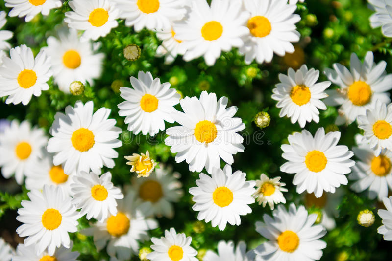 White daisy flower. (Bellis spp.) field from top view stock images