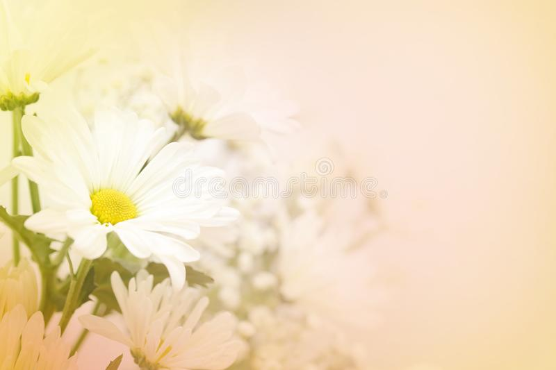 A white daisy flower on a blurred peach background. A beautiful soft white daisy flower on a blurred background in pink, peach, yellow and green. Large text royalty free stock photography