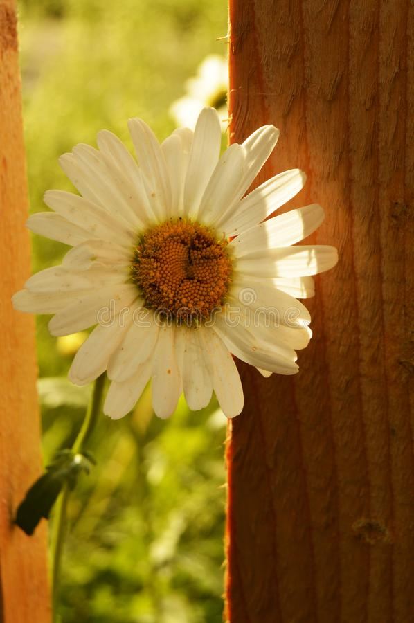 White Daisy flower, close-up, grows near a beautiful wooden fence. Blurred background of green grass stock photos