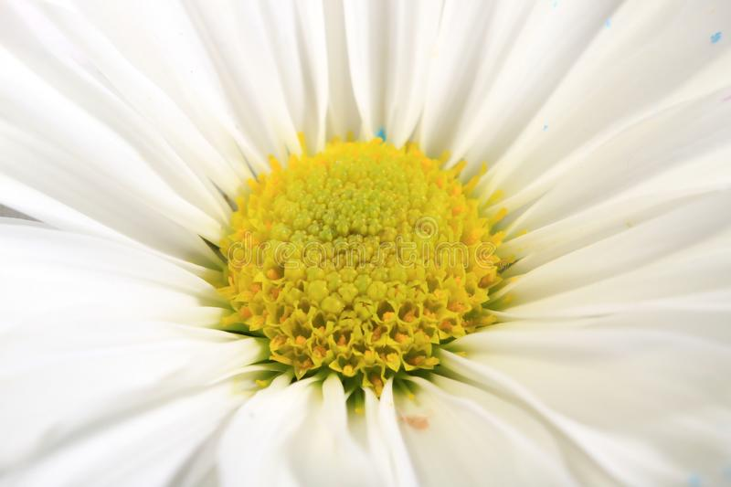 White daisy flower close-up with yellow center in middle of photo stock photography