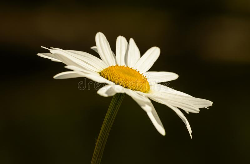 White daisy flower closeup from the side on dark background. Isolated stock photography