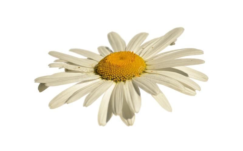White daisy flower closeup from the side white background. Isolated stock photos