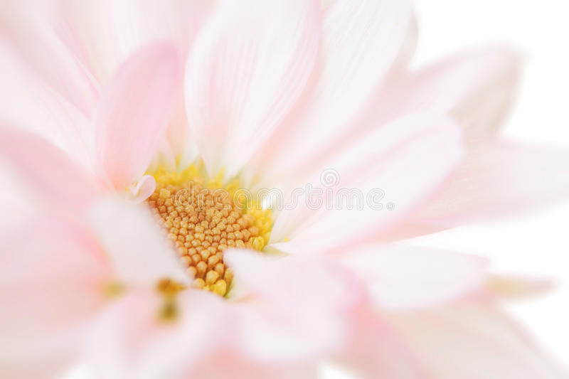 White Daisy Flower Daisies Floral Flowers Isolated stock image