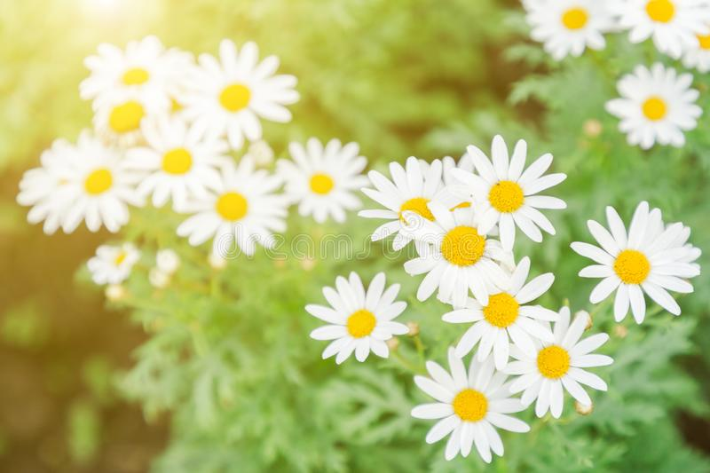 White daisy flower. Flower and green leaf background in garden at sunny summer or spring day. royalty free stock image