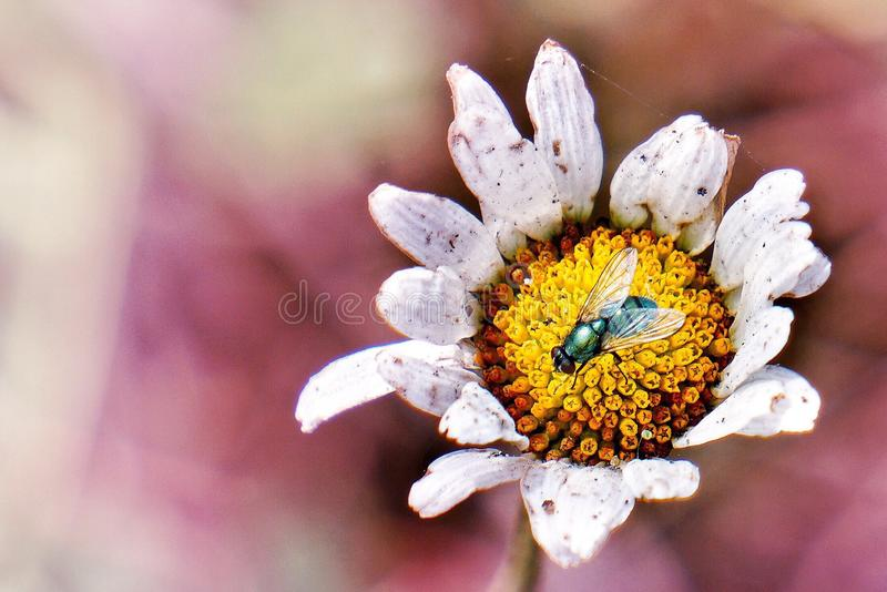 The white daisy flower and fly royalty free stock photo