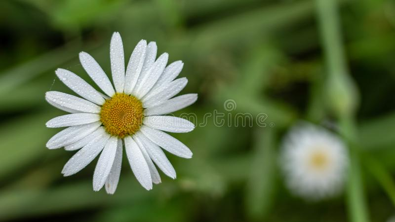 White daisy flower garden, with drops of dew on petals close-up. White daisy flower garden, with drops of dew on petals close up stock images
