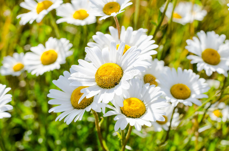 White daisy flower. A group of white daisy flowers stock images