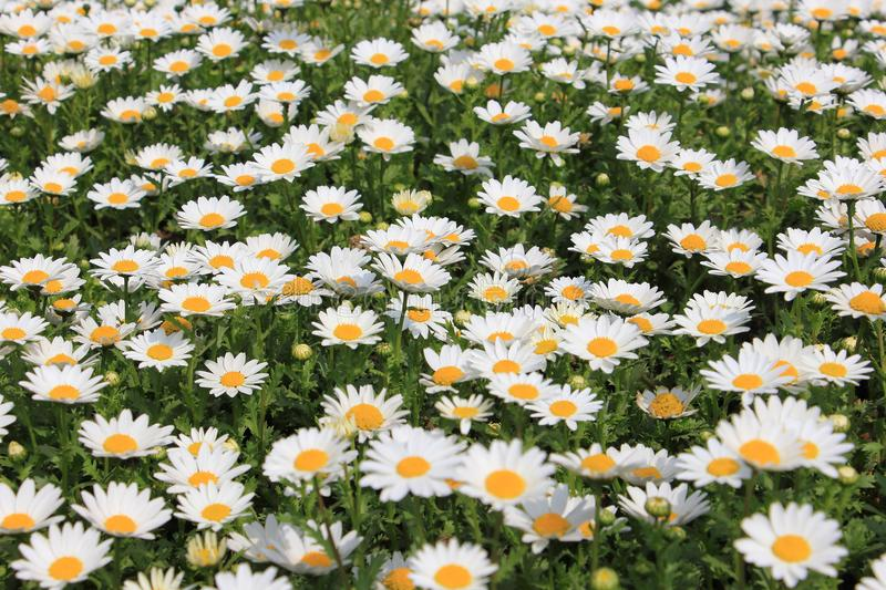 White daisy flower in meadow royalty free stock image