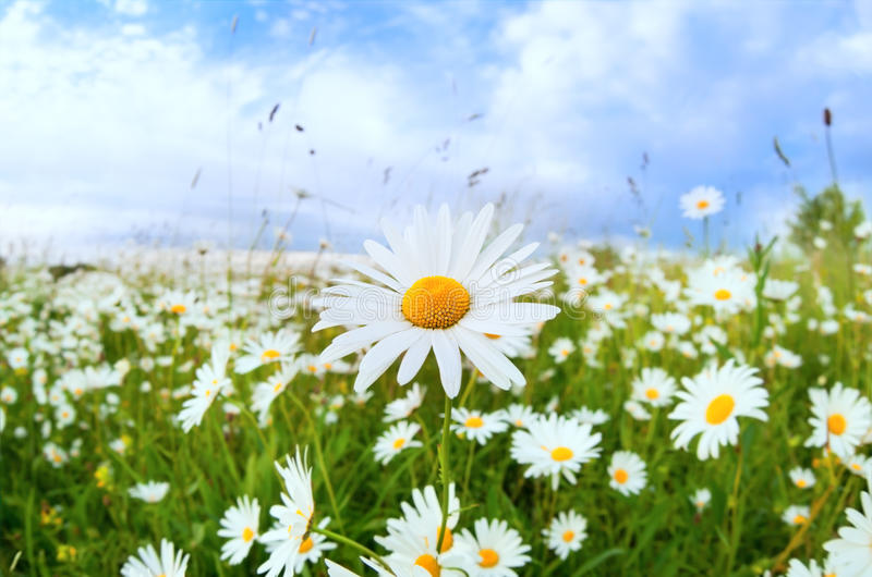 Download White Daisy Flower Over Blue Sky Stock Image - Image of closeup, scenery: 32567859