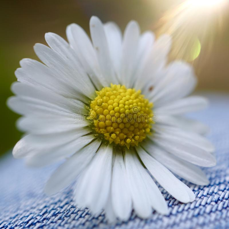 White daisy flower plant in summer in the garden. Daisies in the nature royalty free stock image