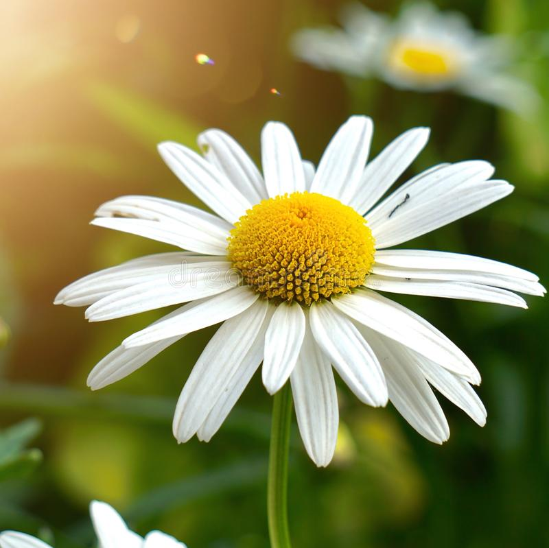 White daisy flower plant in summer in the garden. Daisies in the nature stock photo