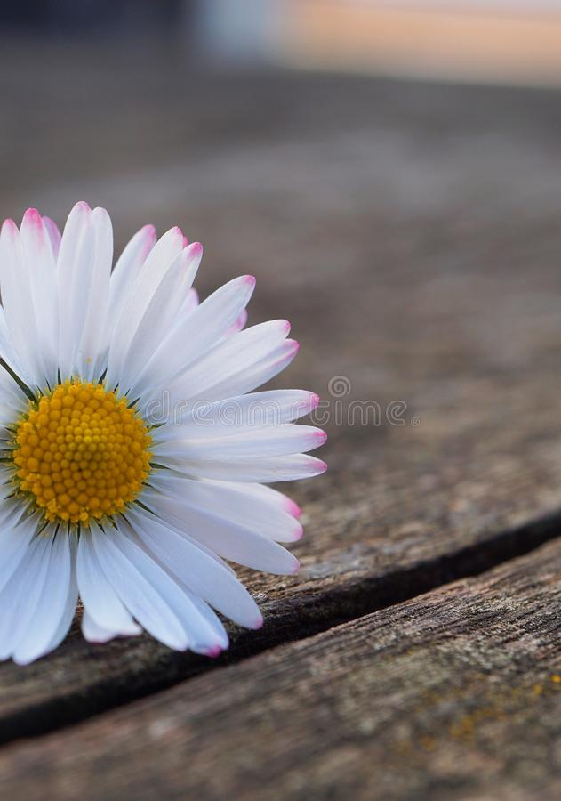 White daisy flower plant in summer in the garden. Daisies in the nature royalty free stock images
