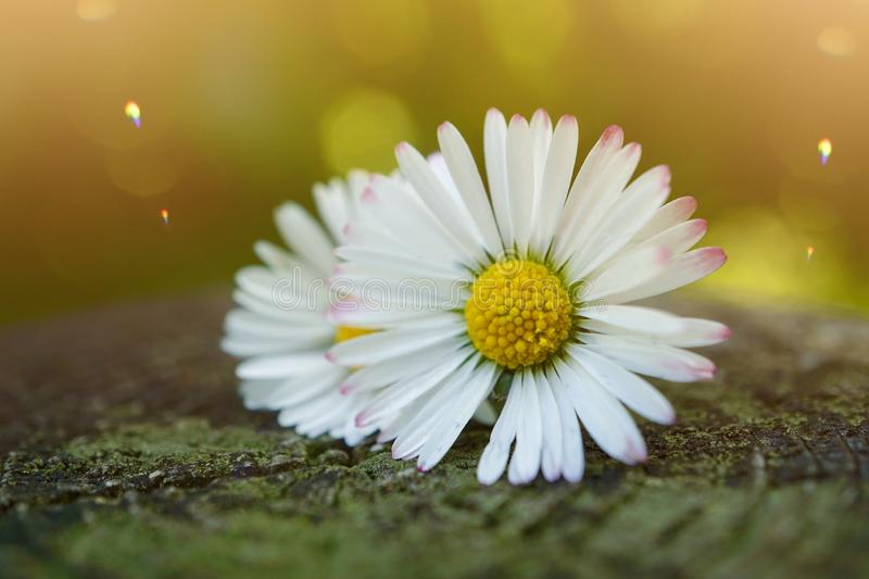 White daisy flower plant in summer in the garden. Daisies in the nature stock photography