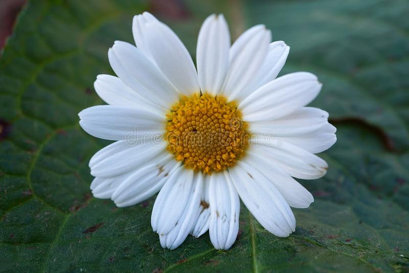 White daisy flower plant in summer in the garden. Daisies in the nature stock photos