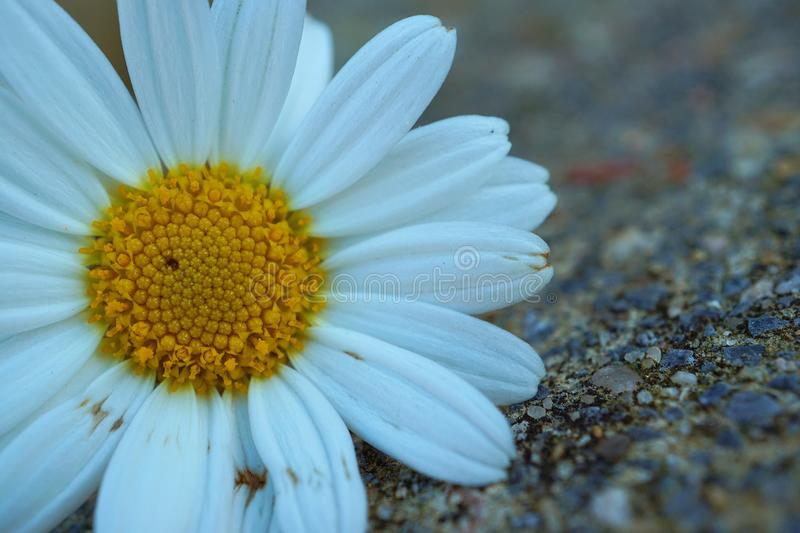 White daisy flower plant in summer in the garden. Daisies in the nature royalty free stock photography