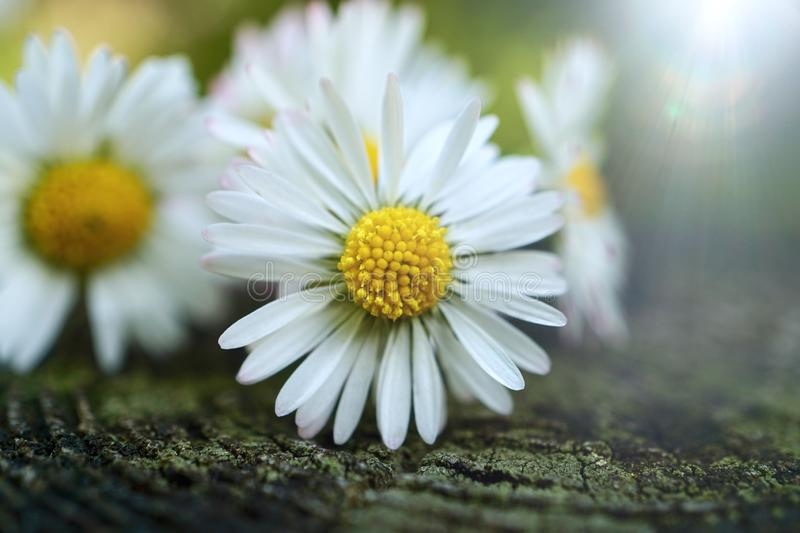 White daisy flower plant in summer in the garden. Daisies in the nature stock image
