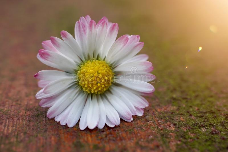 White daisy flower plant in summer in the garden. Daisies in the nature stock images