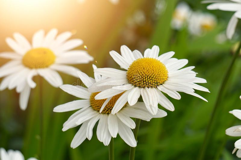 White daisy flower plant in summer in the nature. Daisies in the garden stock photography