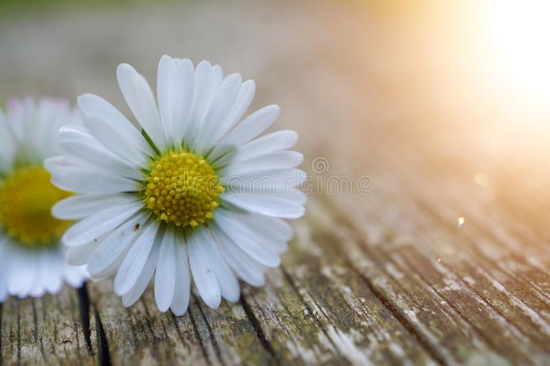 White daisy flower plant in summer in the nature. Daisies in the garden royalty free stock image
