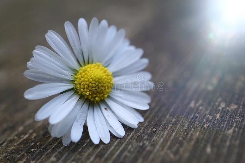 White daisy flower plant in summer in the nature. Daisies in the garden royalty free stock images