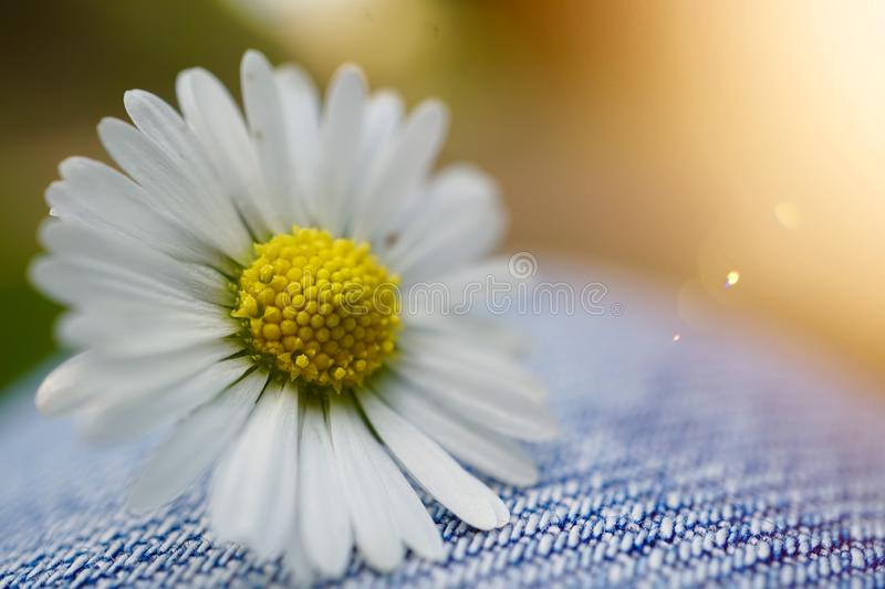 White daisy flower plant in summer in the nature. Daisies in the garden stock photo