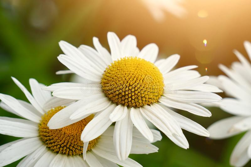 White daisy flower plant in summer in the nature. Daisies in the garden stock images