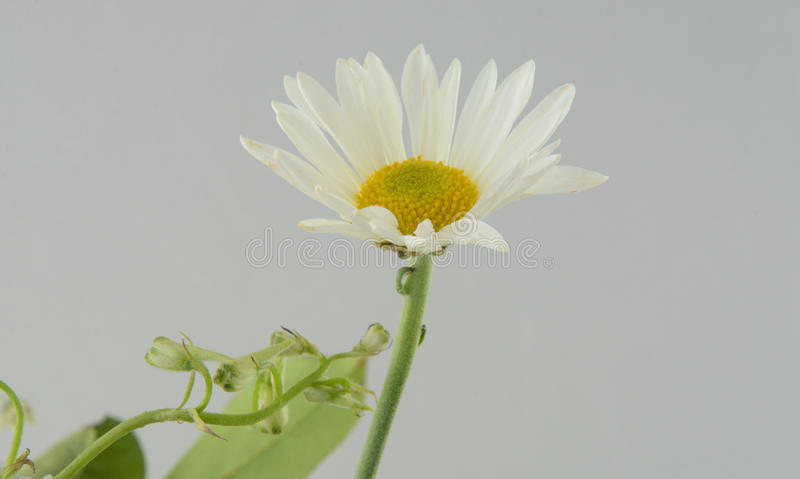 White daisy flower stock photos