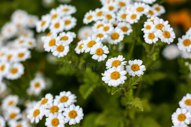 White daisy flower stock photography