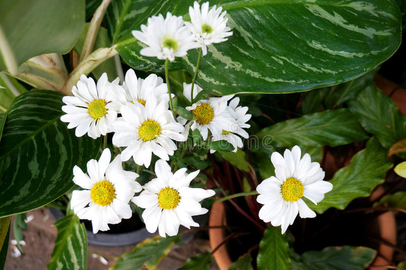White daisy flowers and another plant leaves. Photo of white daisy flowers and another plant leaves, Close up stock image