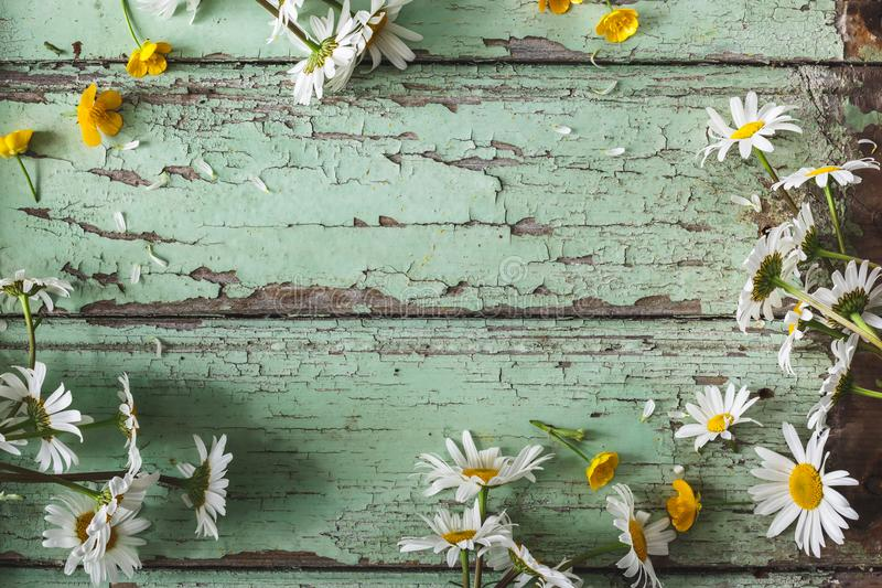 White Daisy Flowers Background. On blue background royalty free stock images