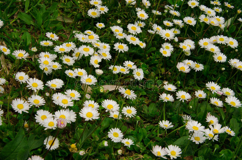 White daisy flowers. Background on meadow stock photography